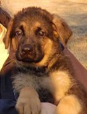 Dina - Akros : Exceptional Male - German Shepherd Puppies For Sale - Fleischerheim Puppy For Sale