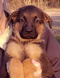 Dina - Akros : Ultimate Male A - German Shepherd Puppies For Sale - Fleischerheim Puppy For Sale