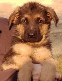 Dina - Akros : Ultimate Male B - German Shepherd Puppies For Sale - Fleischerheim Puppy For Sale