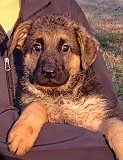 Dina - Akros : Ultimate Supreme Female - German Shepherd Puppies For Sale - Fleischerheim Puppy For Sale