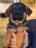 Dina - Akros : Ultimate Supreme Male A - German Shepherd Puppies For Sale - Fleischerheim Puppy For Sale