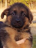 Dina - Akros : Ultimate Supreme Male B - German Shepherd Puppies For Sale - Fleischerheim Puppy For Sale