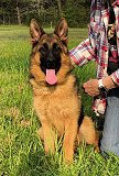 Eva Akros Ultimate Supreme Female - German Shepherd Puppies For Sale - Fleischerheim Puppy For Sale