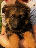 Hanny - Nero: Ultimate Supreme Long Hair Female A - German Shepherd Puppies For Sale - Fleischerheim Puppy For Sale