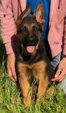 Hanny - Nero: Ultimate Supreme Male A - German Shepherd Puppies For Sale - Fleischerheim Puppy For Sale