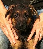 Ina - Tim: Ultimate Supreme Male - German Shepherd Puppies For Sale - Fleischerheim Puppy For Sale