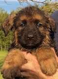 Jilla - Tim: Ultimate  Male A - German Shepherd Puppies For Sale - Fleischerheim Puppy For Sale