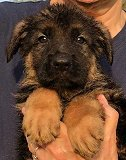 Jilla - Tim: Ultimate Supreme Male A - German Shepherd Puppies For Sale - Fleischerheim Puppy For Sale