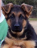 Priva - Akros : Ultimate Female - German Shepherd Puppies For Sale - Fleischerheim Puppy For Sale